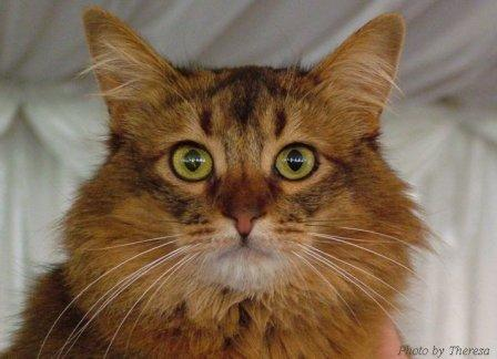 longhaired Somali cat
