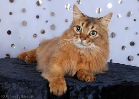 ruddy Somali cat
