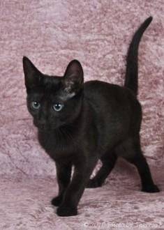 Russian Shorthair or Black Russian kitten