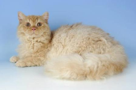 red smoke Selkirk Rex Cat