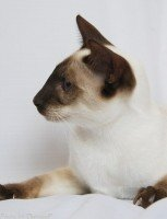 Siamese Cat  - Chocolate Point - Mai Thai's Brown Sugar – Owner Dawn Enslin