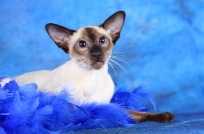Siamese cat | Magic | Mandy and Greg | © Sarah Thexton
