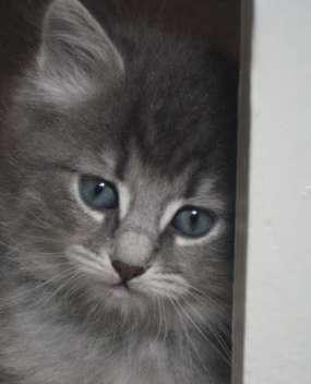 Blue Tabby Siberian Forest kitten