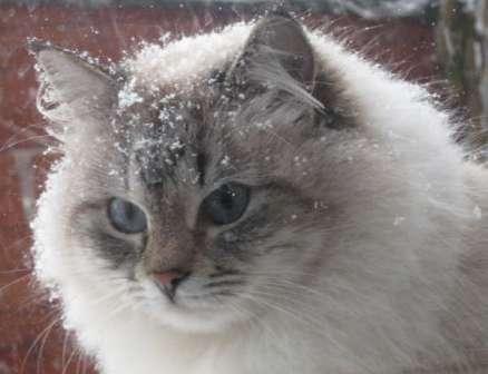Seal Tabbypoint Neva Siberian cat