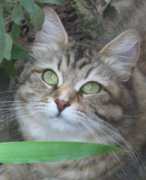 Brown Tortie Tabby Siberian Cat