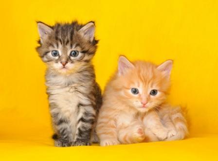 Siberian Forest Kittens