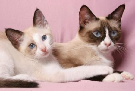 Snowshoe kitten and Cat