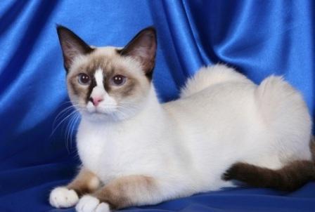 Snowshoe cat chocolate color
