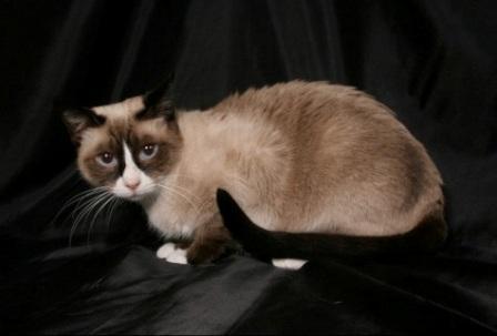 seal color Snowshoe cat