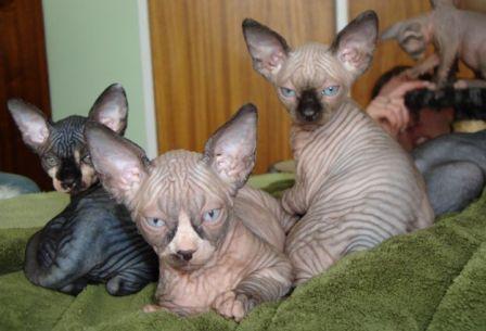 Sphynx kittens