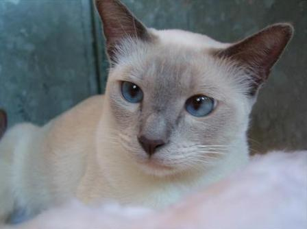 tonkinese cat blue point