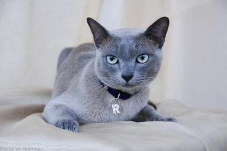 solid blue Tonkinese cat