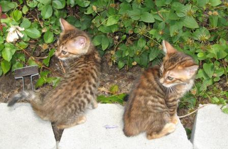Toyger kittens 8 weeks
