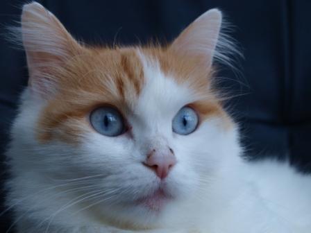 auburn Turkish Van cat